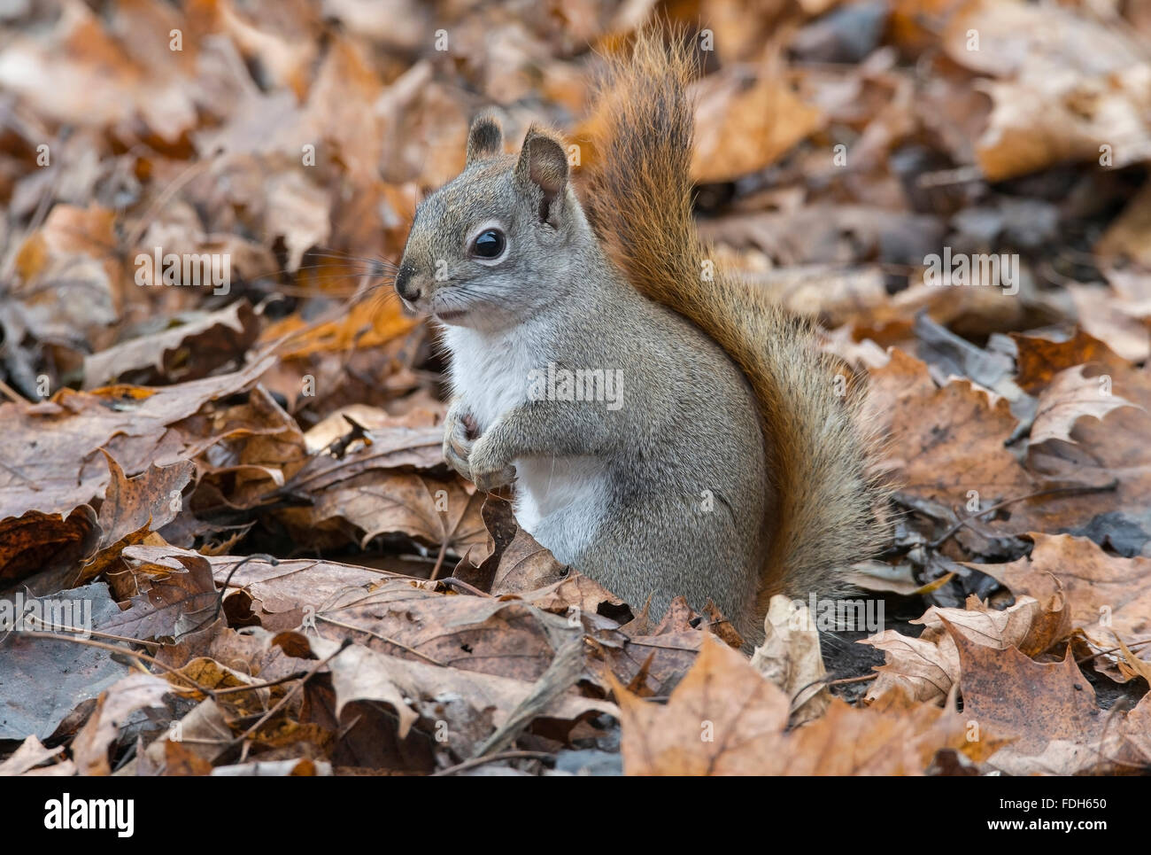 L'Est de l'Écureuil rouge la chasse pour la nourriture à même le sol forestier (Tamiasciurus Photo Stock