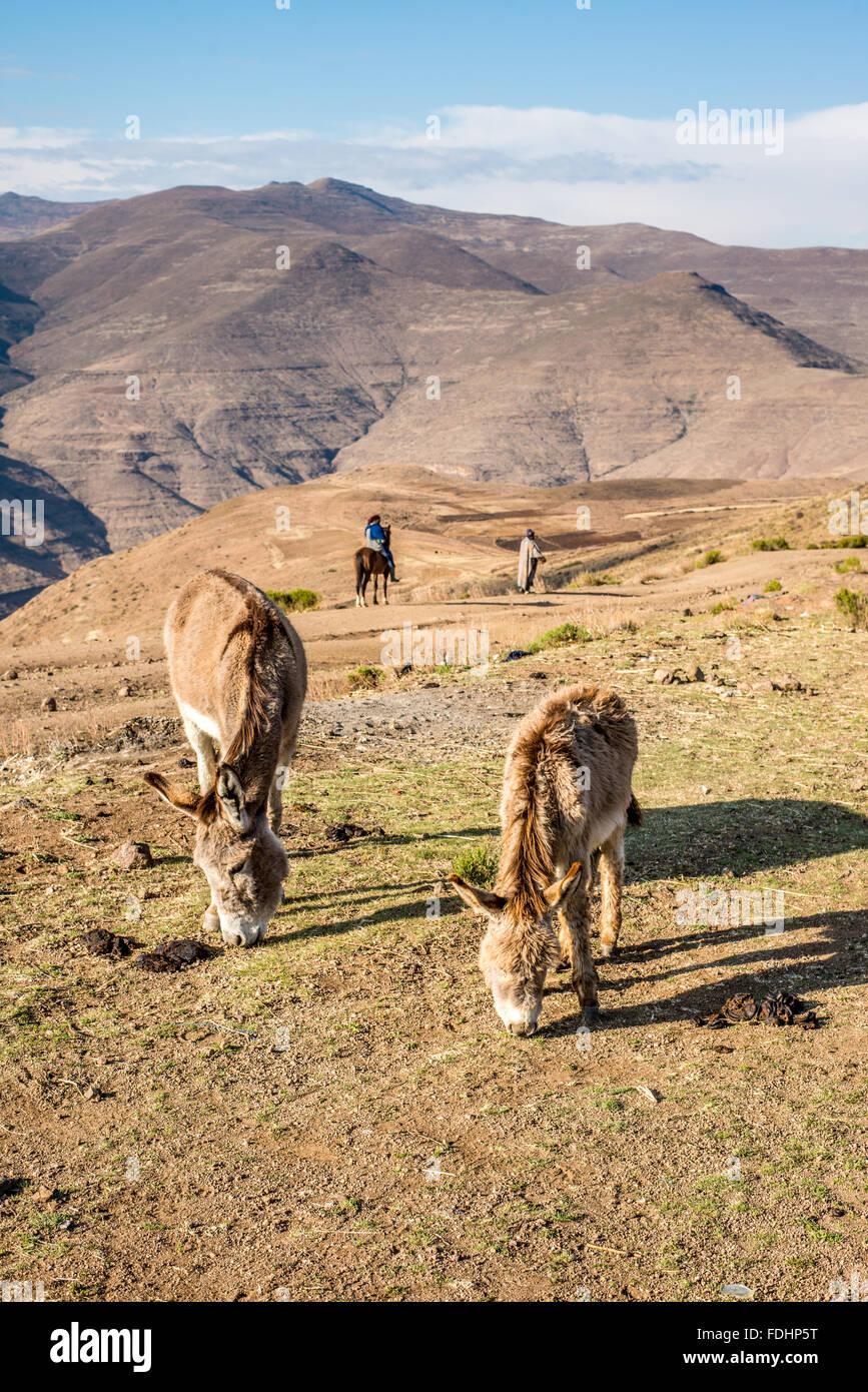 Le pâturage des ânes et une personne à cheval avec un berger dans les montagnes du Lesotho, Afrique Photo Stock