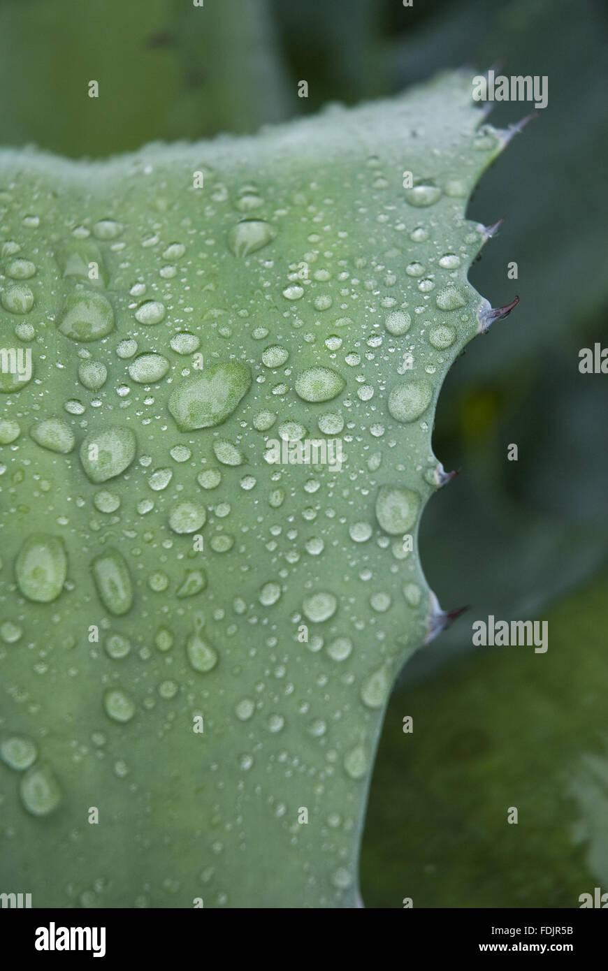 Gouttes de pluie sur les feuilles dentelées de plante succulente dans le jardin à Coleton Fishacre, Kingswear, Devon. Banque D'Images