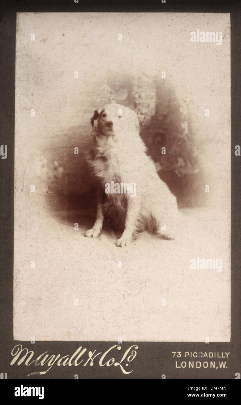 Une archive photographie en noir et blanc d'un de Mme Greville's dogs. Photographe : Mayall & Co, Photo Stock