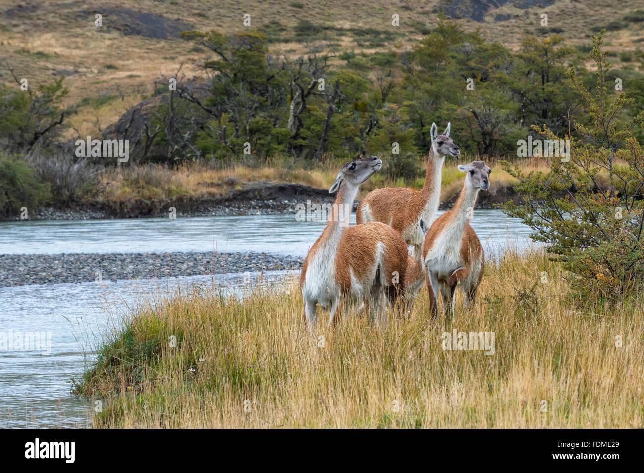 Guanacos (Lama guanicoe), Parc National Torres del Paine, Patagonie chilienne, Chili Banque D'Images