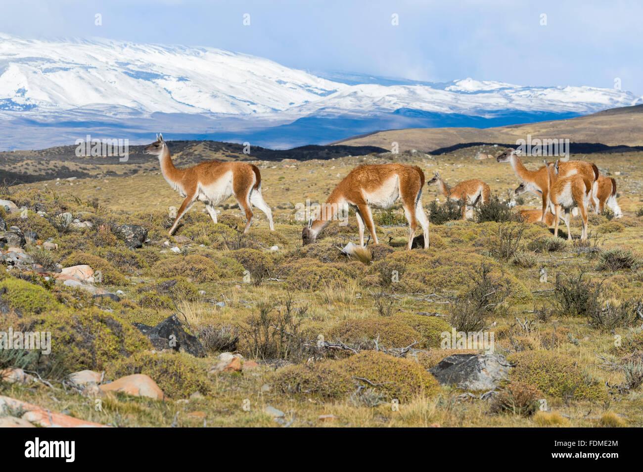 Groupe de guanacos (Lama guanicoe) dans la steppe, Parc National Torres del Paine, Patagonie chilienne, Chili Banque D'Images