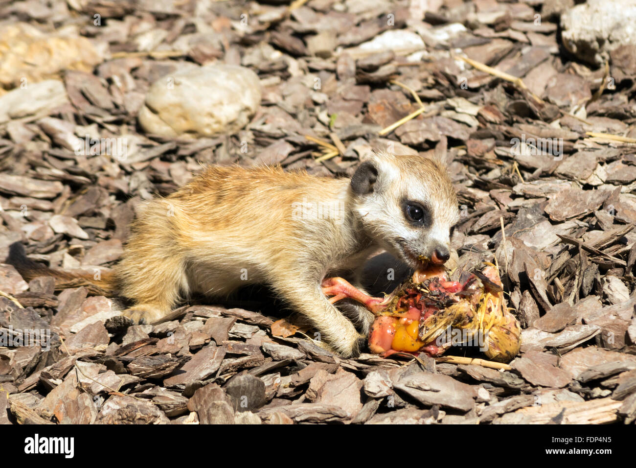 Baby meerkat (Suricata suricatta) manger un poussin Photo Stock