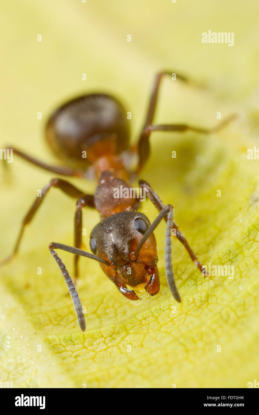 Hairy fourmi Formica (lugubis) travailleur adulte sur une feuille. Shropshire, Angleterre. Septembre. Photo Stock