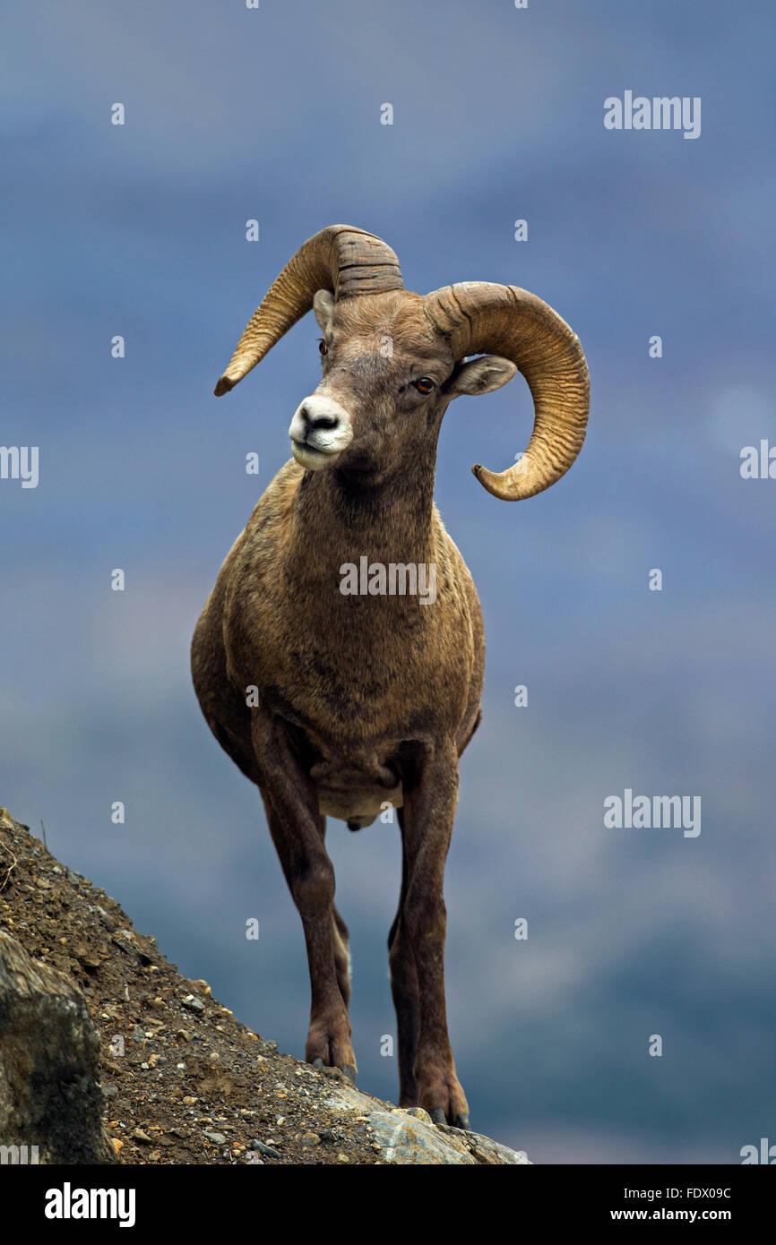 Bighorn (Ovis canadensis) ram, Jasper National Park, Alberta, Canada Photo Stock