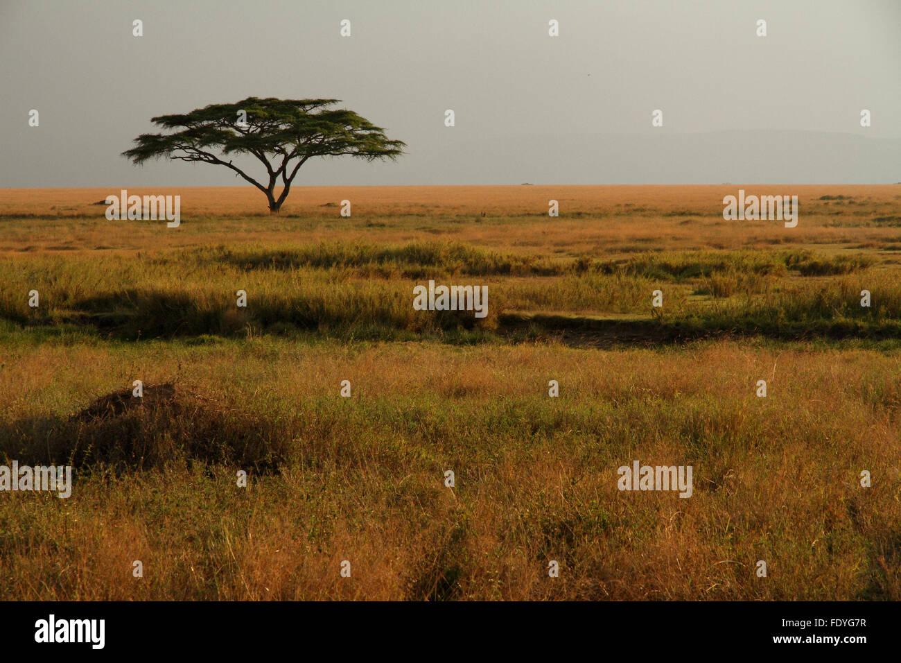 Un acacia solitaire assis dans les herbes colorées de la savane africaine Photo Stock