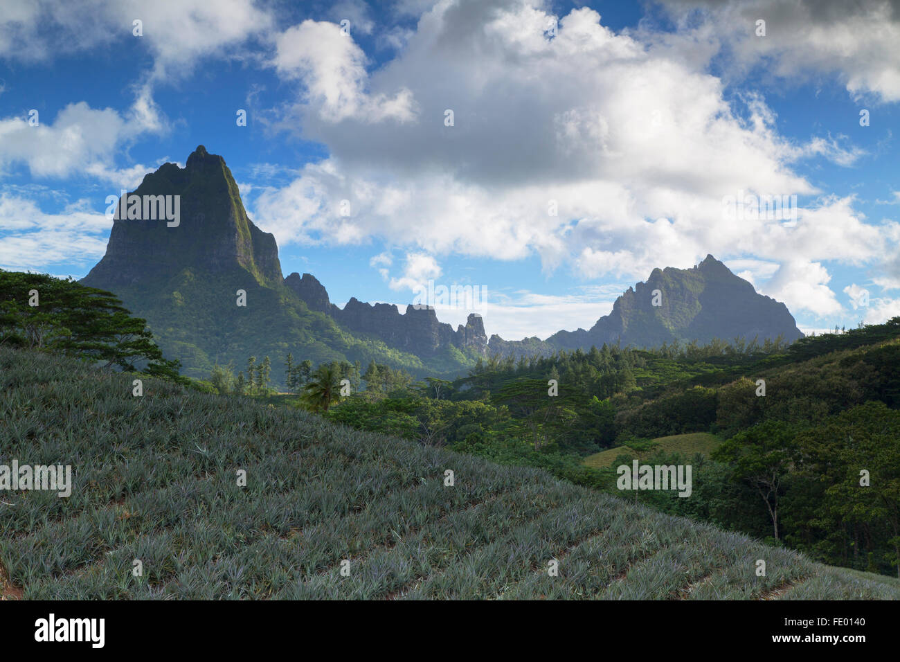 Plantation d'ananas dans la vallée de Paopao, Mo'orea, îles de la société, Polynésie Photo Stock