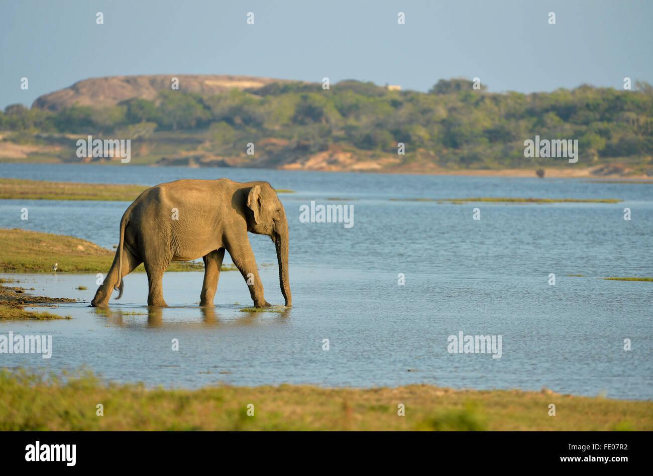 Sri Lanka éléphant (Elephas maximus maximus) marcher dans l'eau peu profonde au bord du lac, parc Photo Stock