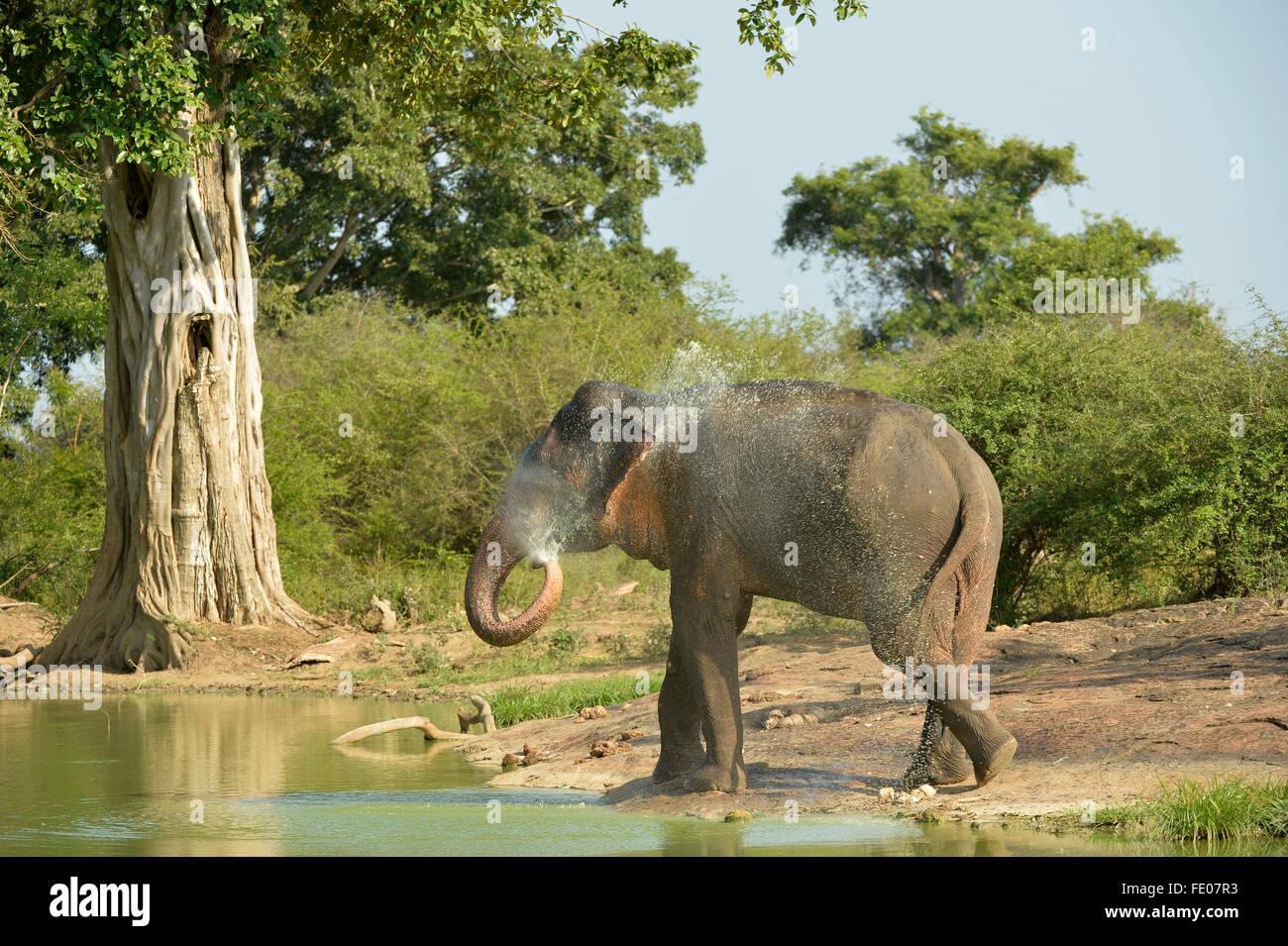L'éléphant du Sri Lanka (Elephas maximus maximus) à trou d'eau, pulvériser de l'eau Photo Stock