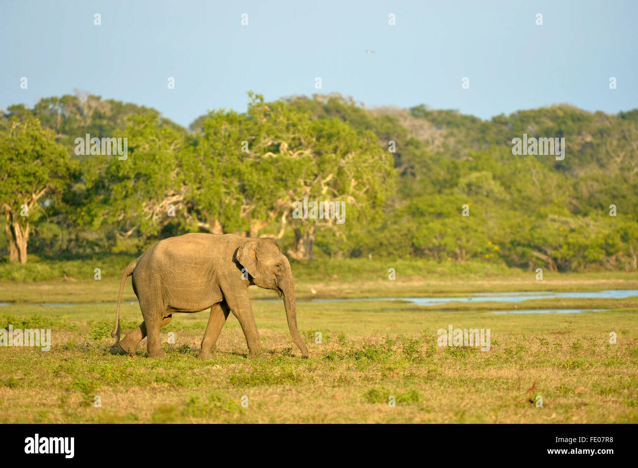 L'éléphant du Sri Lanka (Elephas maximus maximus) marche à travers le Parc National, parc national Photo Stock