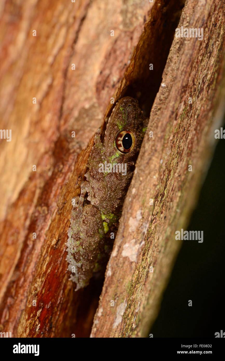 Arbuste de tubercule (grenouille Pseudophilautus cavirostris) reposant sous l'écorce des arbres, la réserve Photo Stock