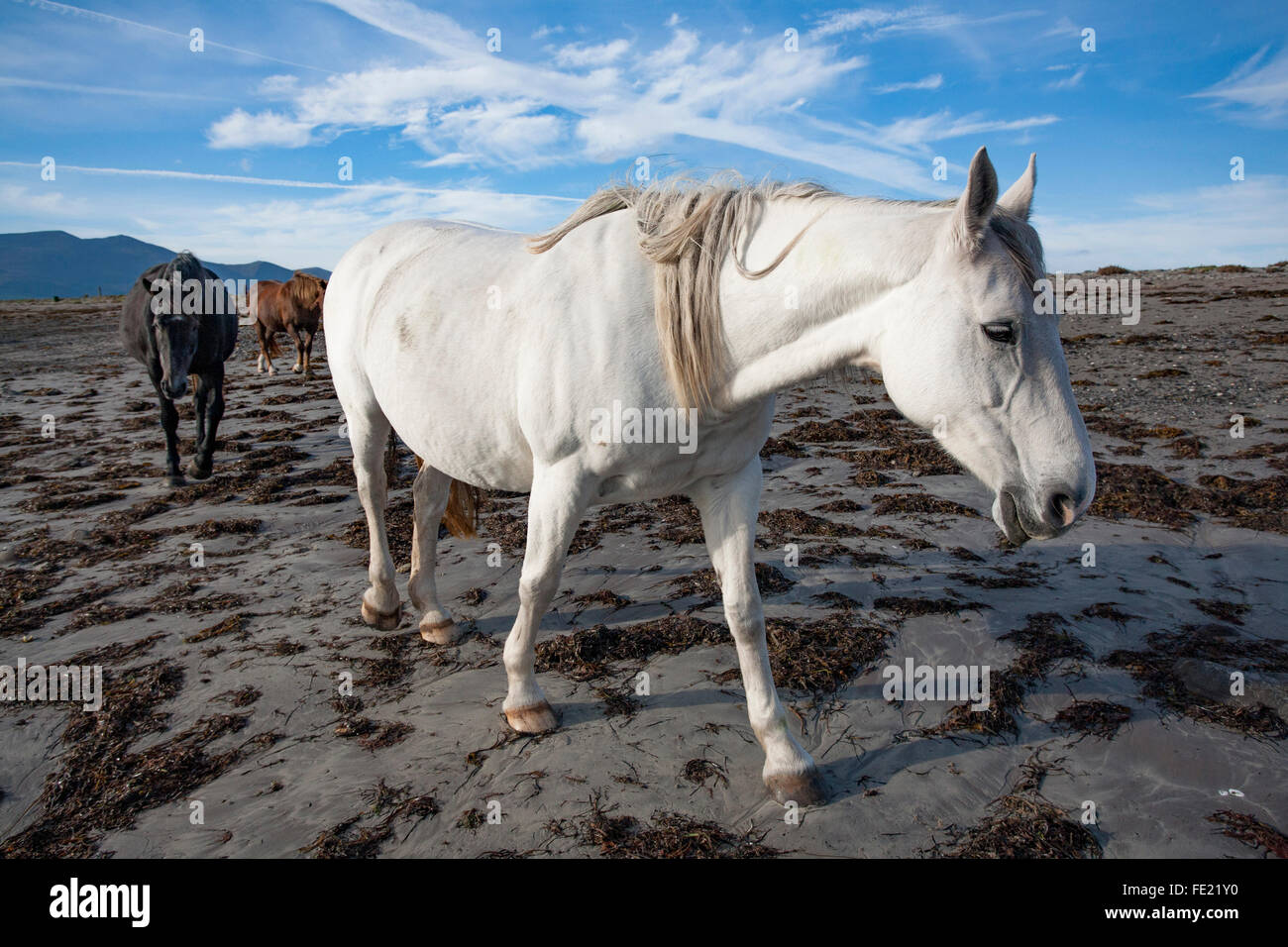 Chevaux sur la plage, le Magherees, péninsule de Dingle, comté de Kerry, Irlande. Photo Stock