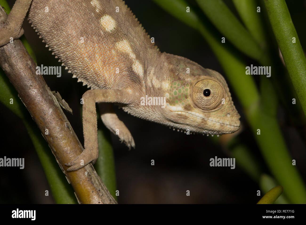 Caméléon panthère (Furcifer pardalis), progéniture, Sambava, au nord-est de Madagascar, Madagascar Photo Stock