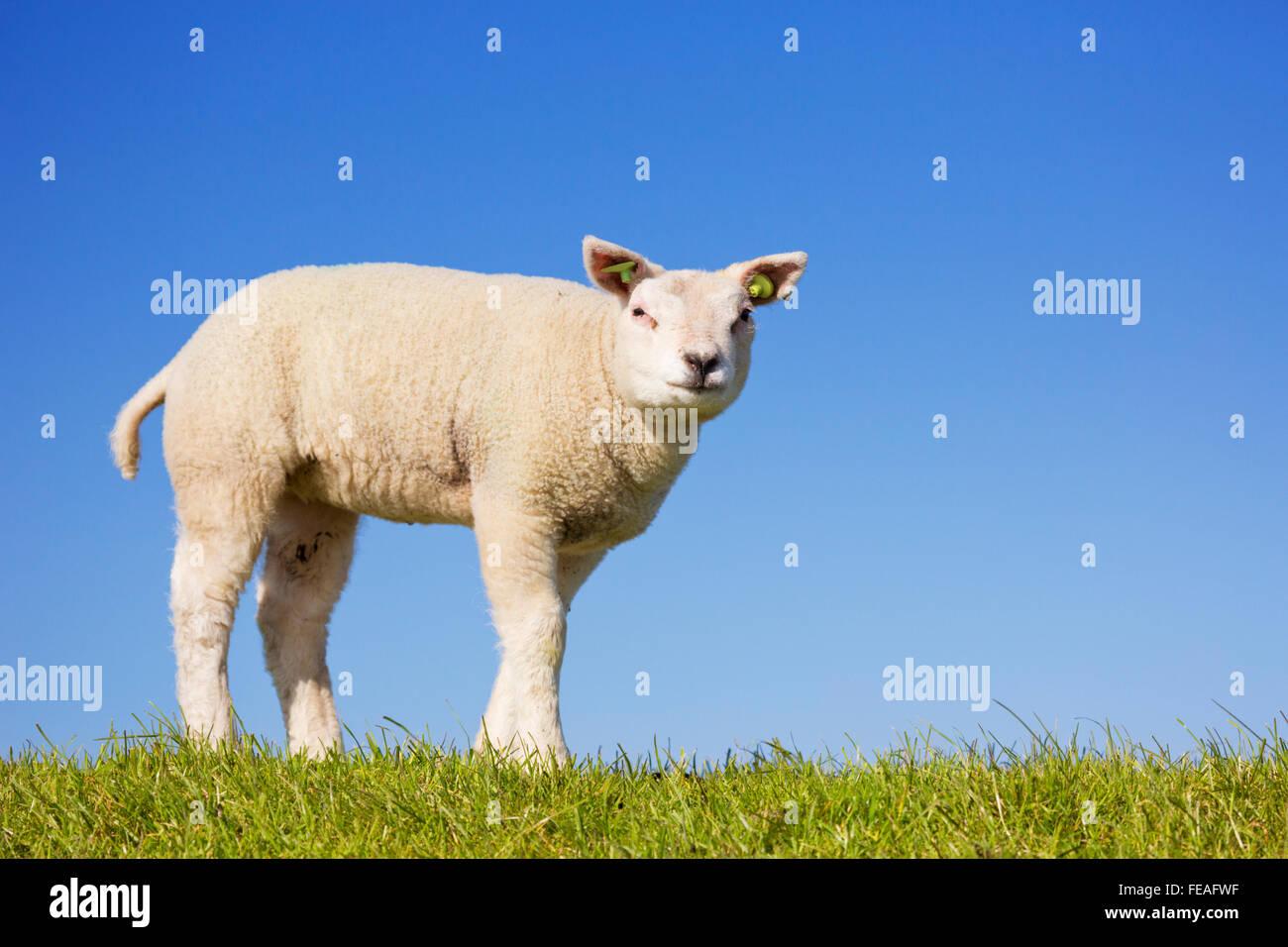 Un mignon petit agneau Texel dans l'herbe sur l'île de Texel aux Pays-Bas sur une journée ensoleillée. Photo Stock