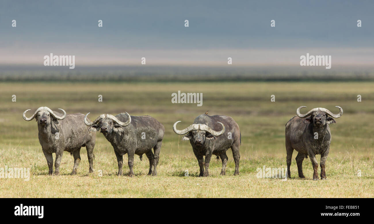 Quatre Cape Buffalo Bulls alerte permanent dans le Parc National du Serengeti en Tanzanie Photo Stock