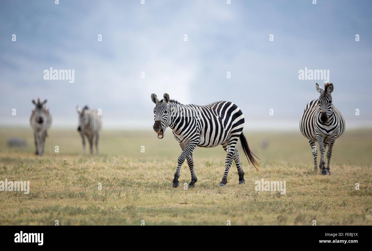 Troupeau de zèbre des plaines marche dans le cratère du Ngorongoro en Tanzanie des plaines Photo Stock