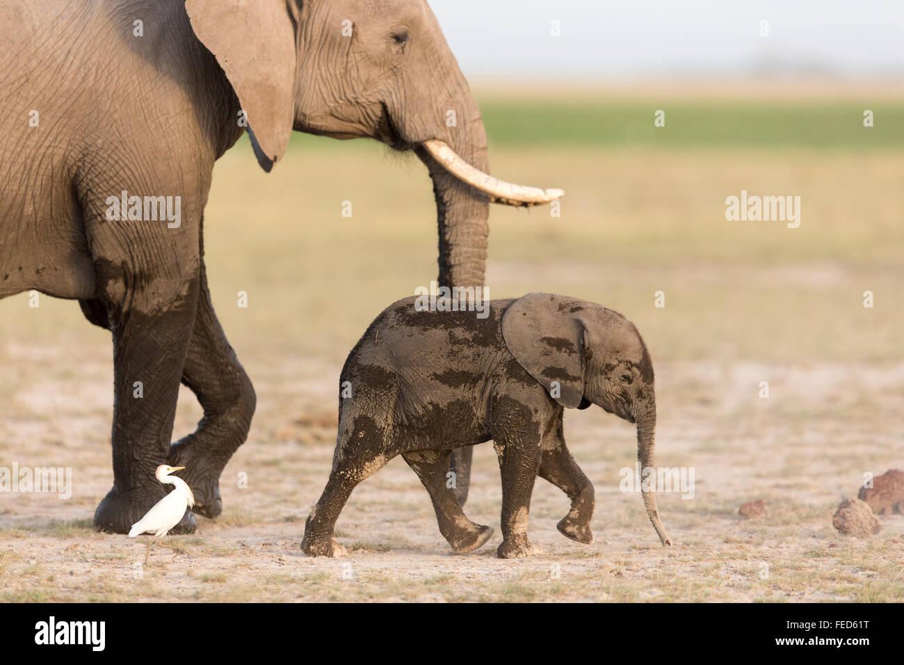 African Elephant Parc national Amboseli au Kenya Banque D'Images