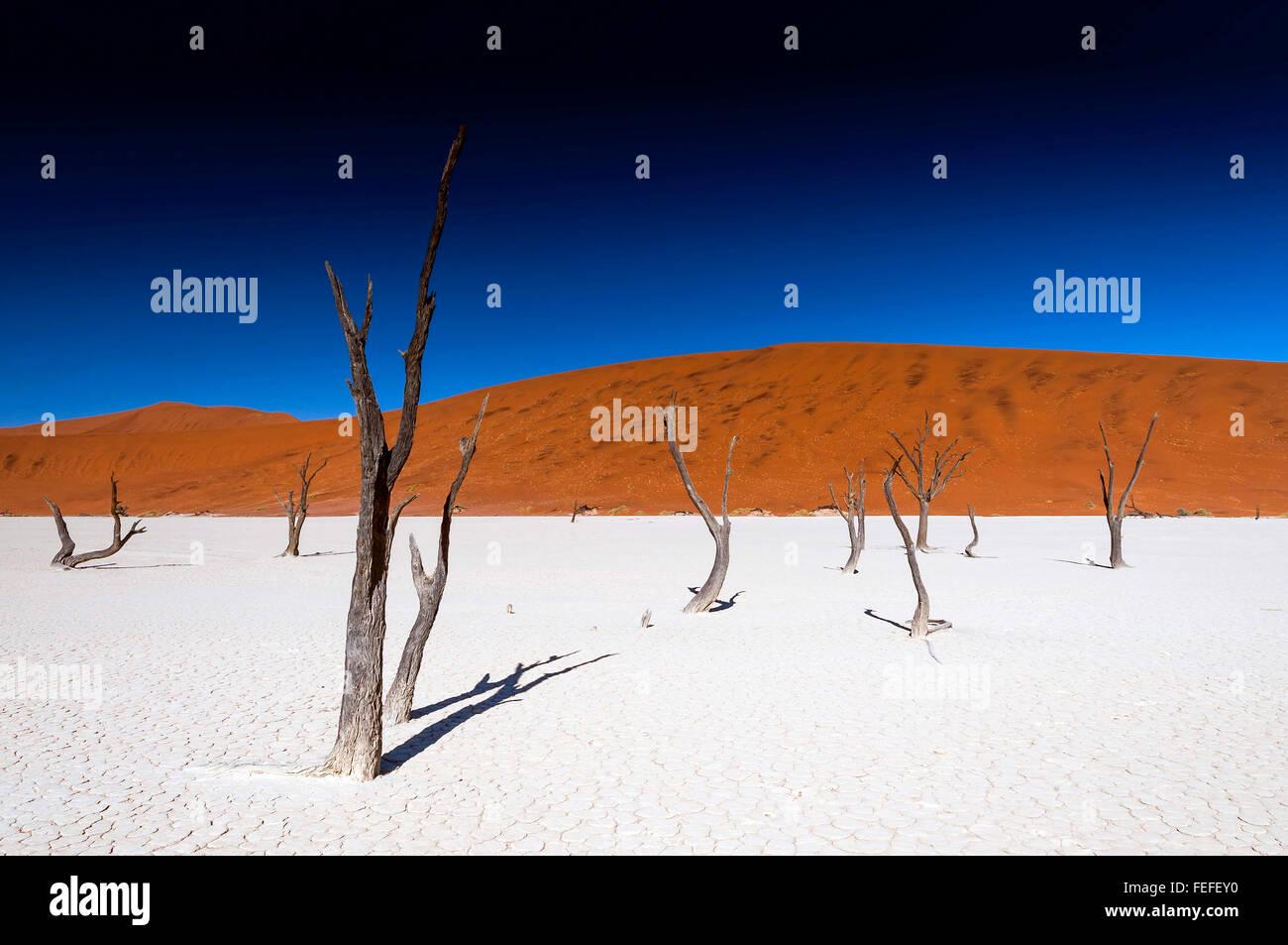 Acacia arbres morts dans la région de Sossusvlei, Namibie Pan. Sossusvlei est un sel et de l'argile pan entouré de hautes dunes rouges Banque D'Images