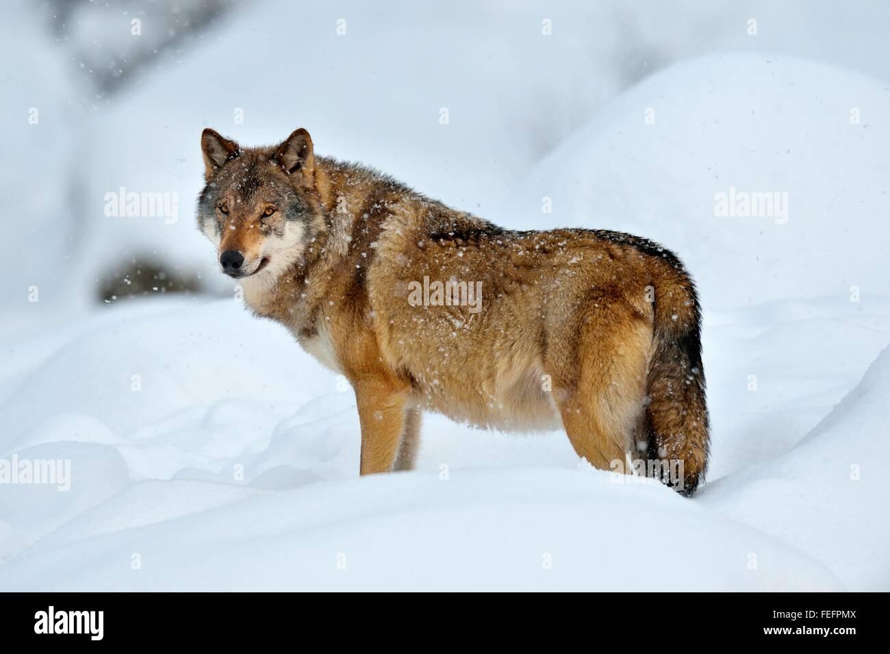 Loup eurasien, également commun loup ou milieu forêt russe wolf (Canis lupus lupus) debout dans la neige, Photo Stock
