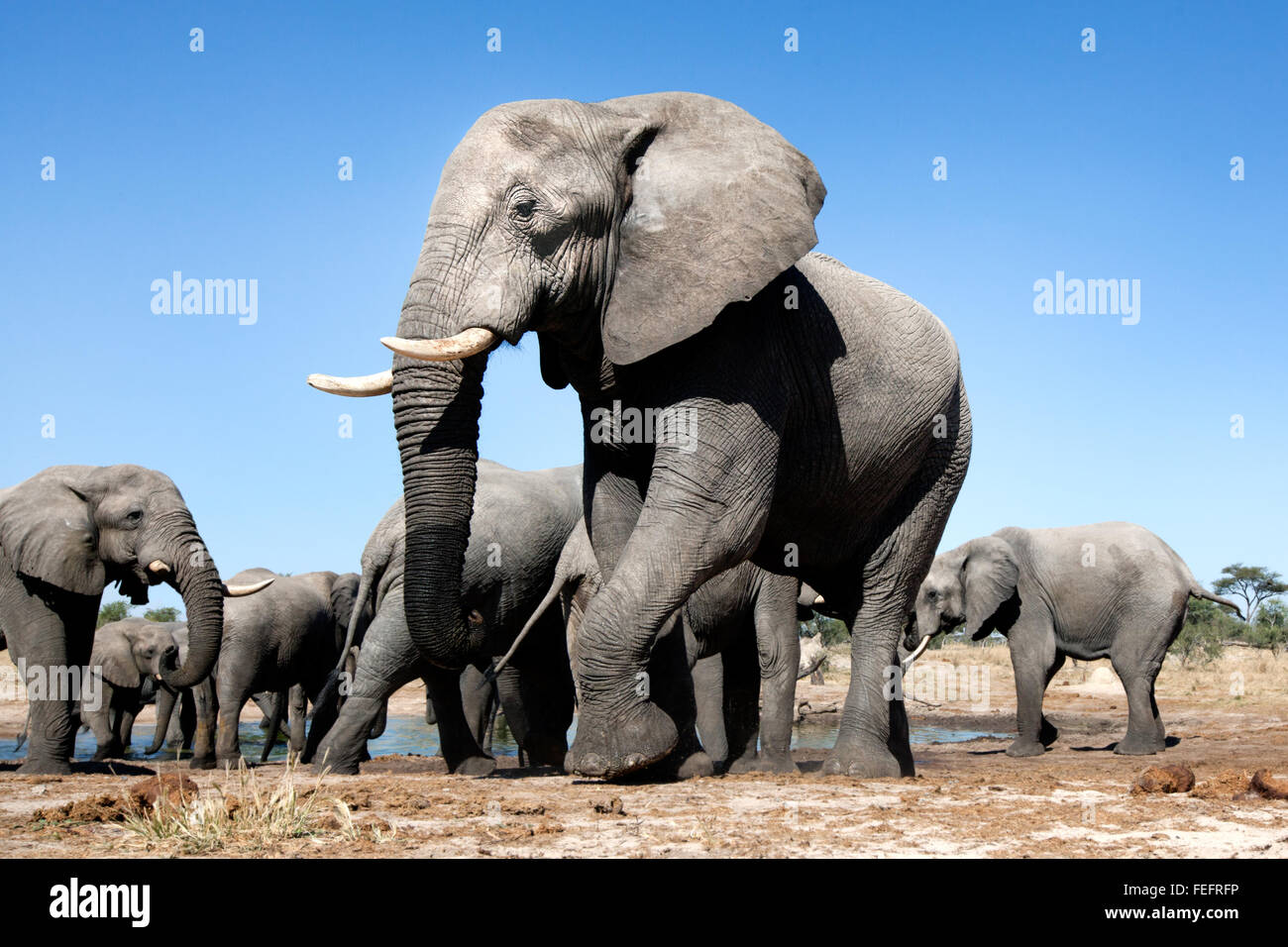 Éléphant à un étang Photo Stock
