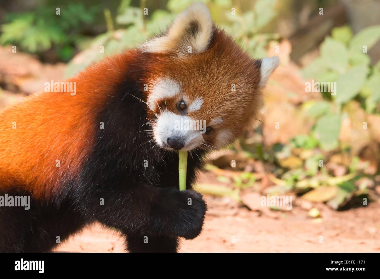 Le panda rouge (Ailurus fulgens), province du Sichuan, Chine Banque D'Images