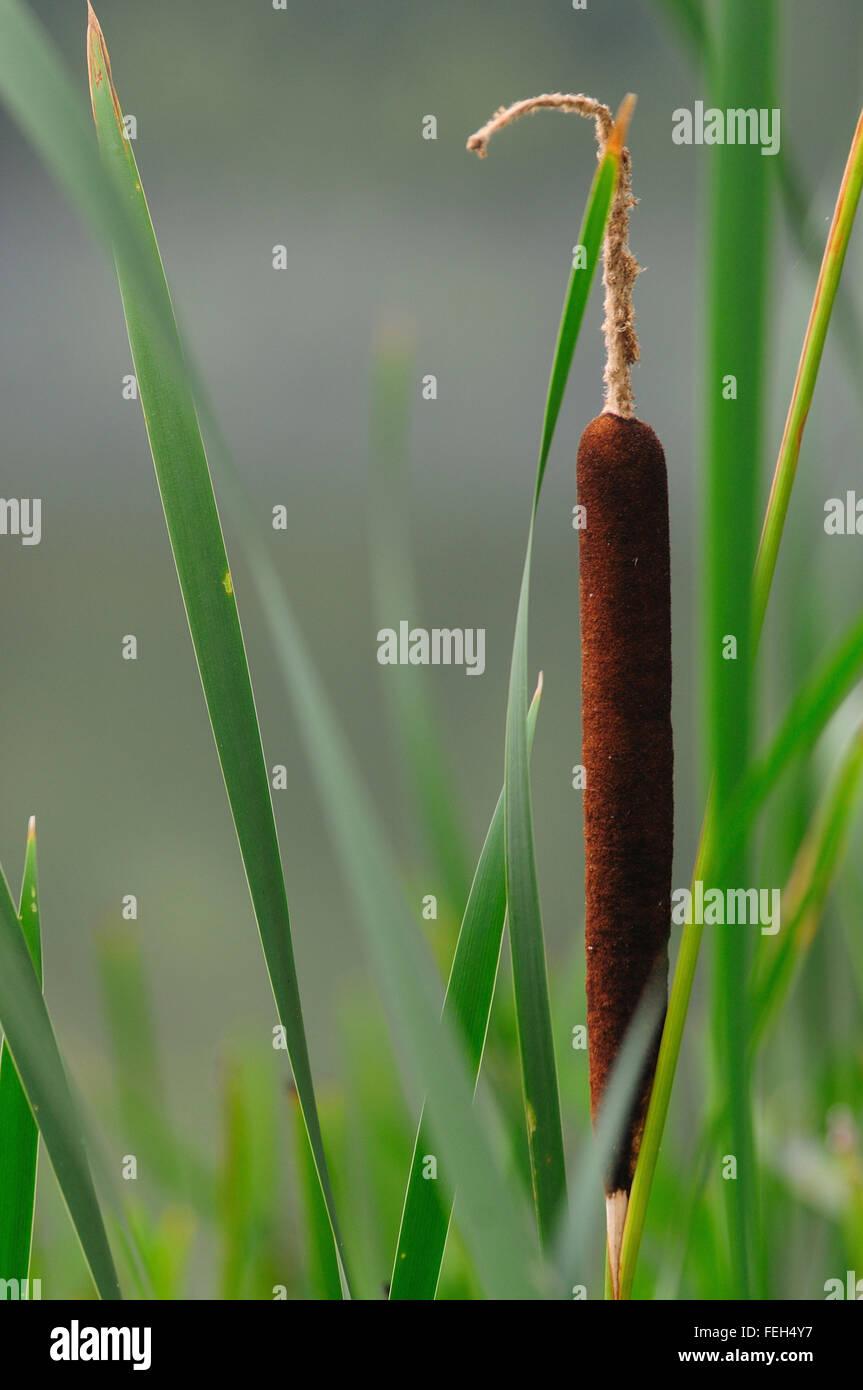 Scirpe Photo Stock