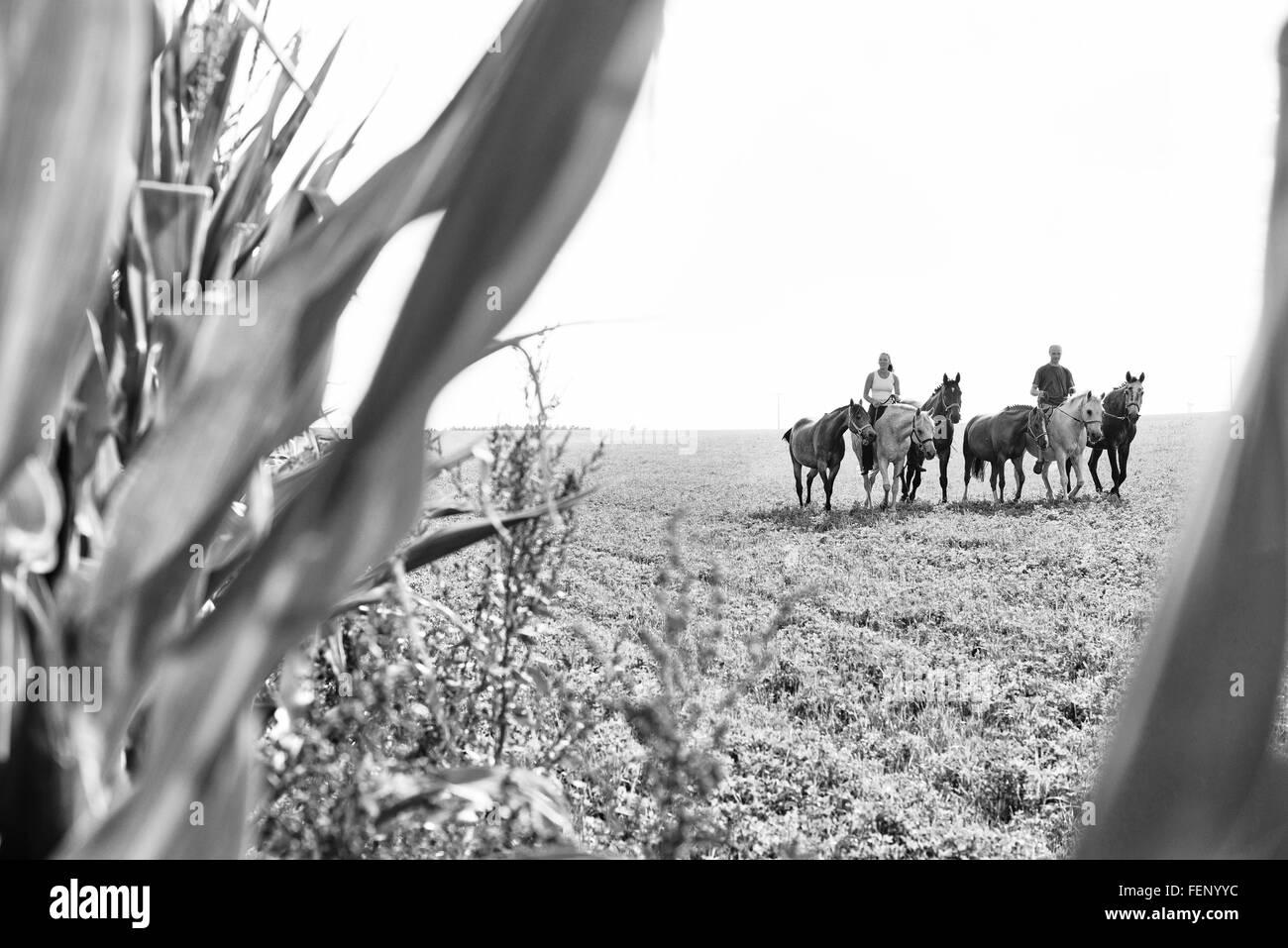 B&W image de l'homme et la femme d'équitation et des six chevaux dans le champ Banque D'Images