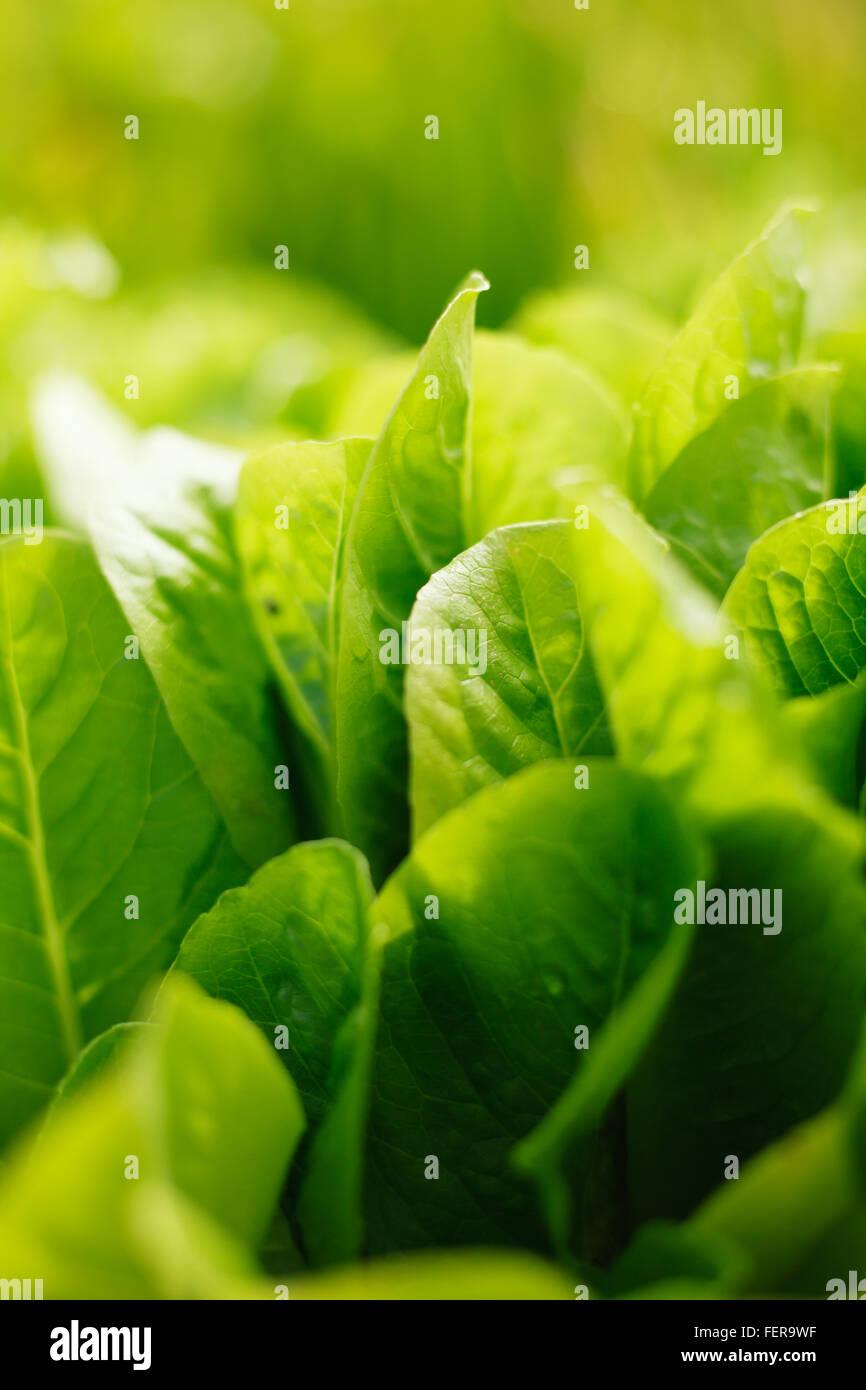 De plus en plus de la laitue dans une ferme biologique Photo Stock