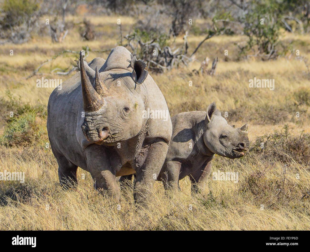 Les rhinocéros noirs mère et son petit Photo Stock