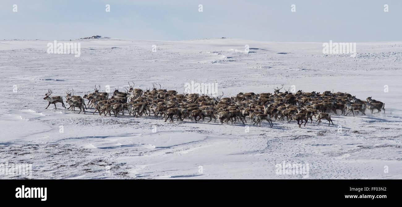 Grand troupeau de rennes dans la toundra de l'Île Béring hiver Photo Stock