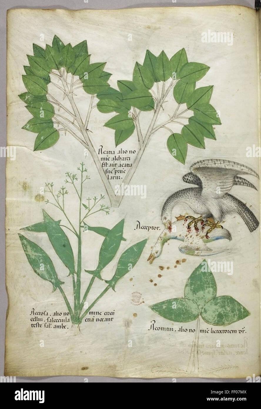 Illustration de Tractatus de Herbis Banque D'Images