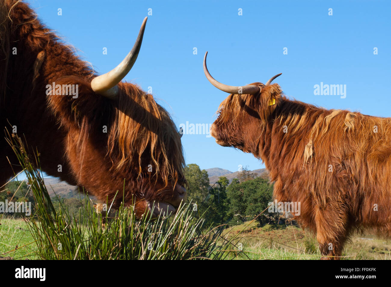 Deux Scottish Highland vaches qui paissent dans un champ en Ecosse Photo Stock