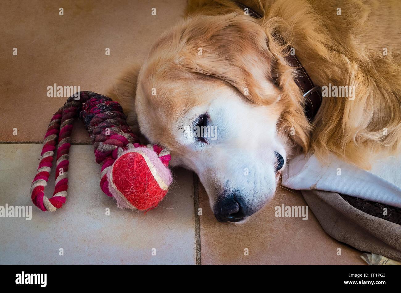 Un vieux chien Golden Retriever reposant à l'intérieur Photo Stock