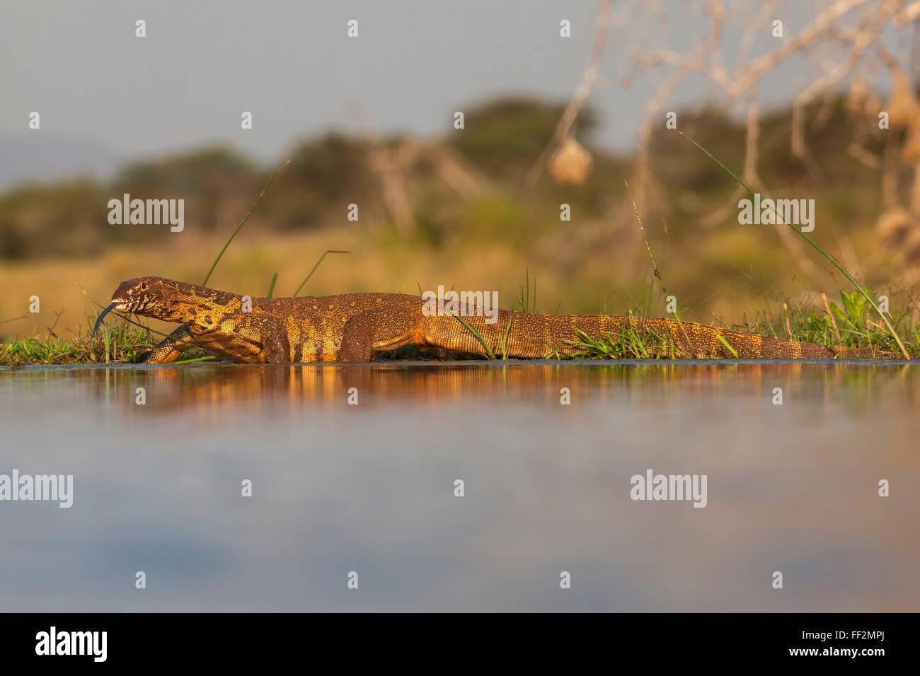 Moniteur de l'eau (RMeguaan niRMoticus) (Varanus), Zimanga KwaZuR réserve privée,Mu-NataRM, Afrique Photo Stock