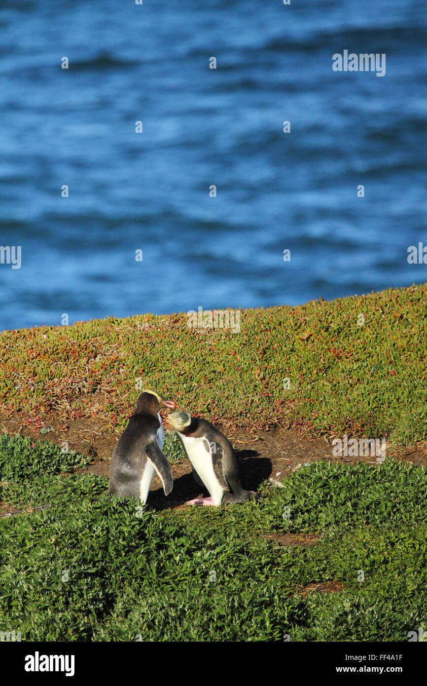 La disparition aux yeux jaunes Penguin (Megadyptes antipodes) à Katiki Point Lighthouse (Phare), Moeraki Moeraki, Photo Stock
