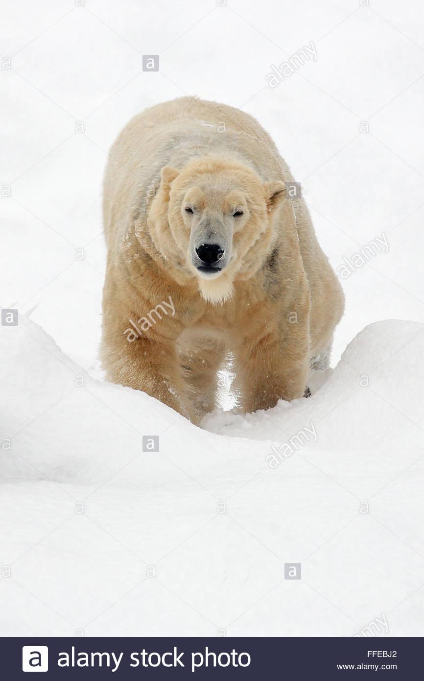 Un Ours blanc se promenant dans une prairie couverte de neige. Photo Stock