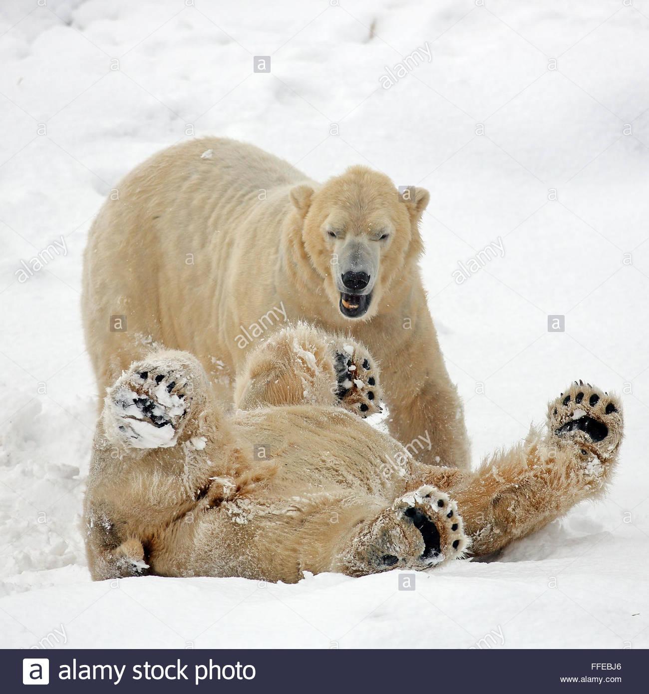 Deux ours polaires sur la lutte contre le sol couvert de neige Photo Stock