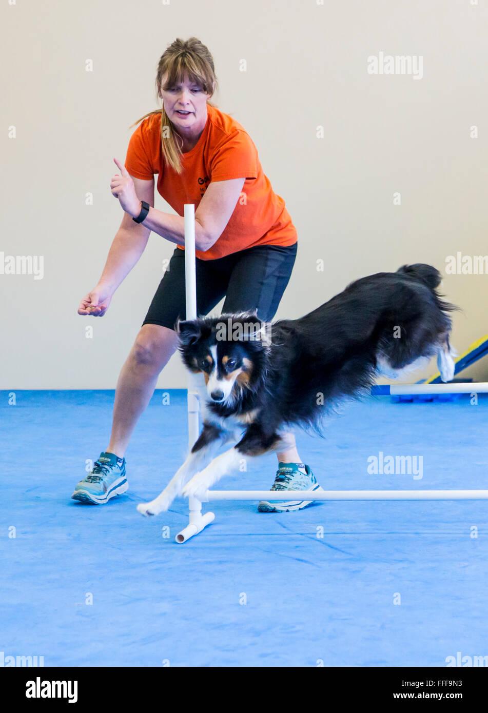 Les professionnels de la formation de chien berger australien pour sauter l'obstacle obstacle Photo Stock