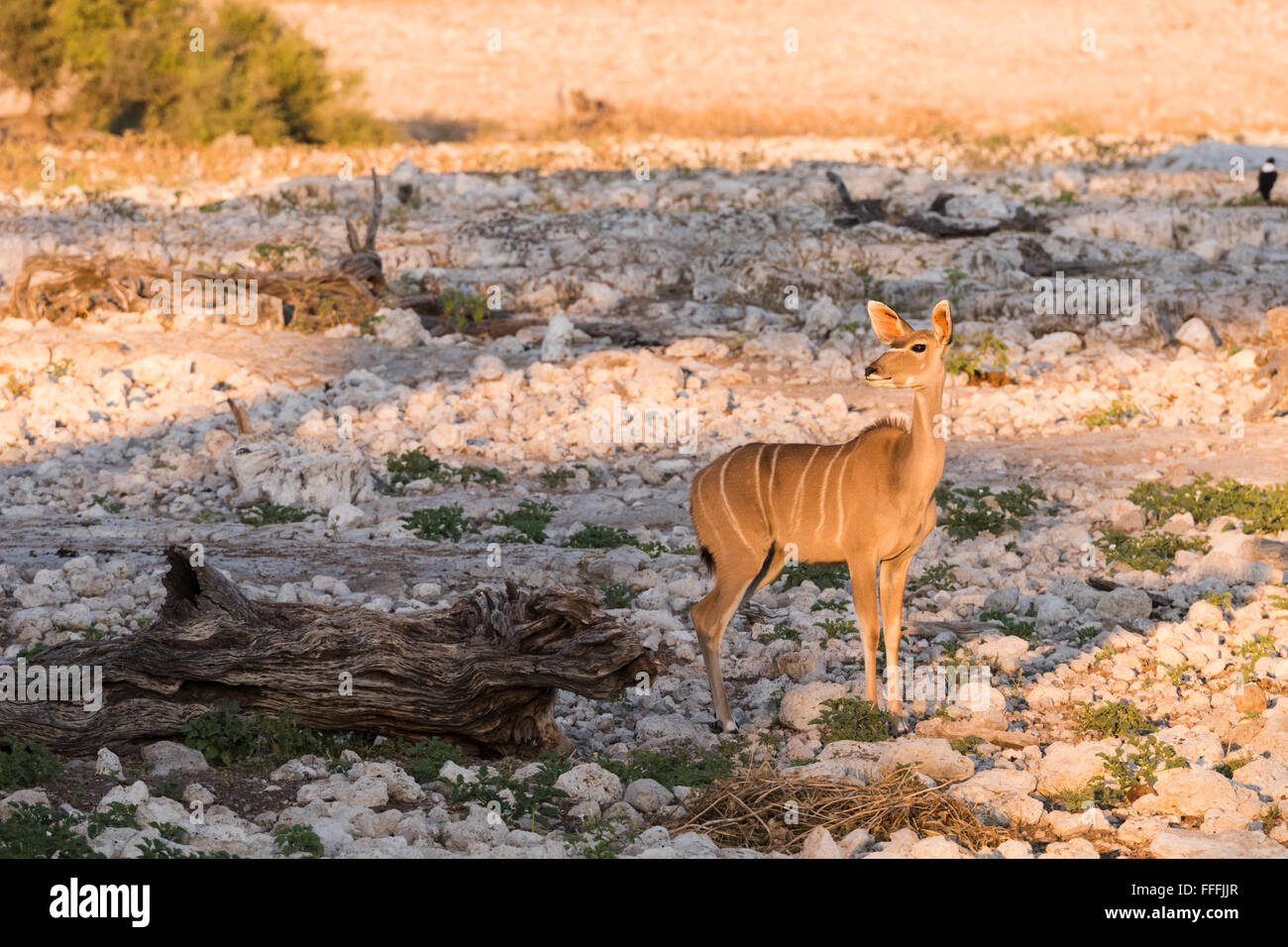 Seule femelle grand koudou (Tragelaphus strepsiceros) debout à côté d'waterhole, Etosha National Photo Stock