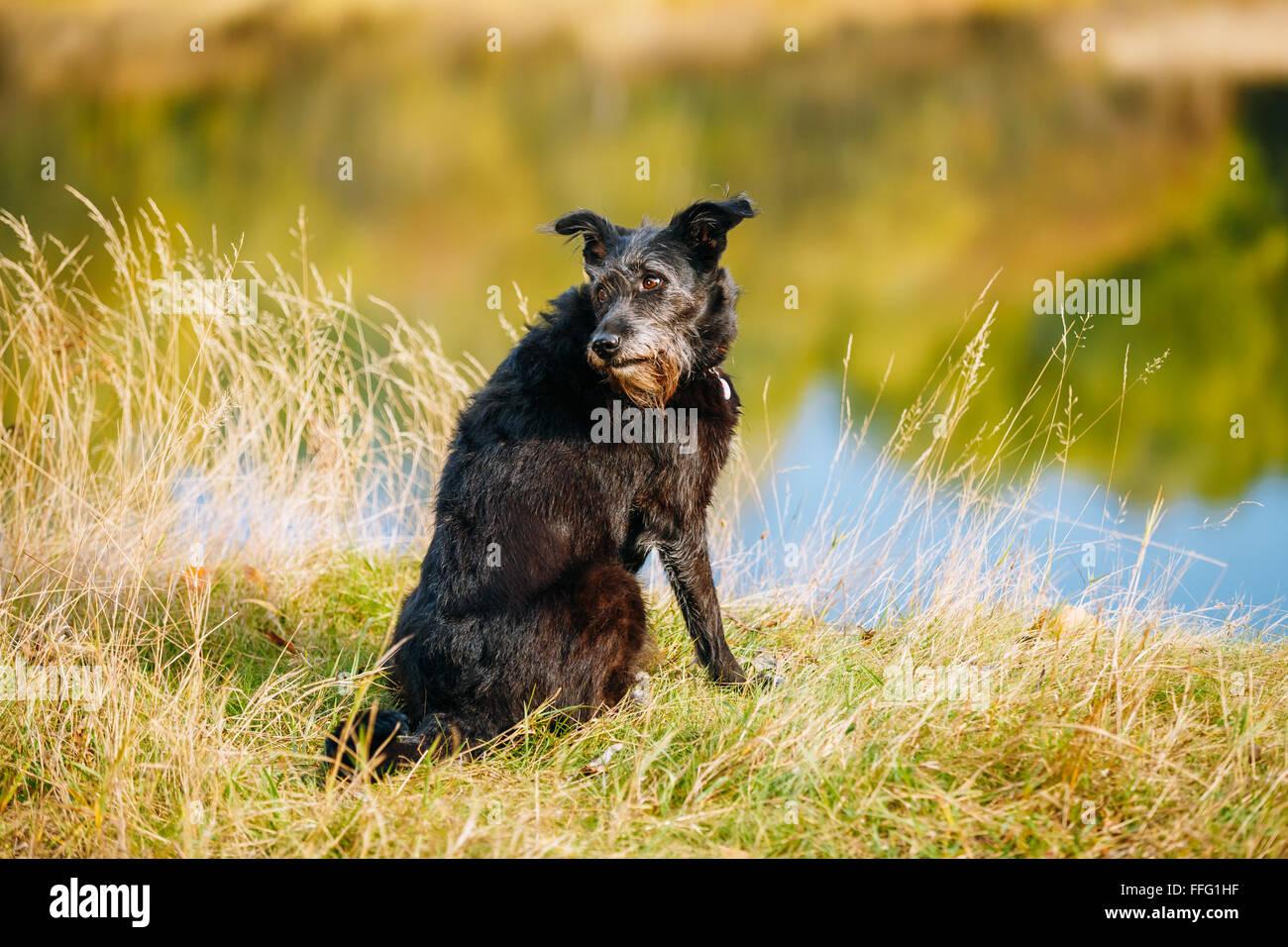 Taille petit chien noir dans l'herbe près de la rivière, lac. La saison d'été. Photo Stock