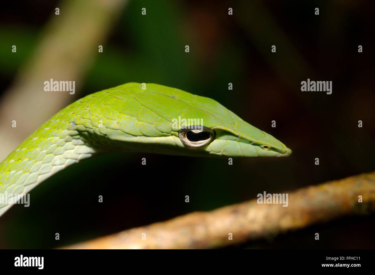 3 mars 2016 - Arbre bec long serpent, serpent de vigne verte, Whip bec long serpent ou serpent de vigne asiatique (Ahaetulla nasuta) la réserve forestière de Sinharaja, parc national, Sinharaja, Sri Lanka, l'Asie du Sud. © Andrey Nekrasov/ZUMA/ZUMAPRESS.com/Alamy fil Live News Banque D'Images