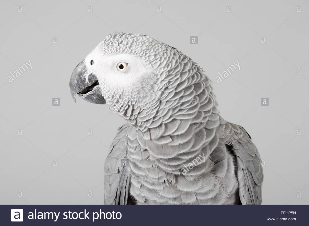 Homme perroquet gris d'Afrique. Photo Stock