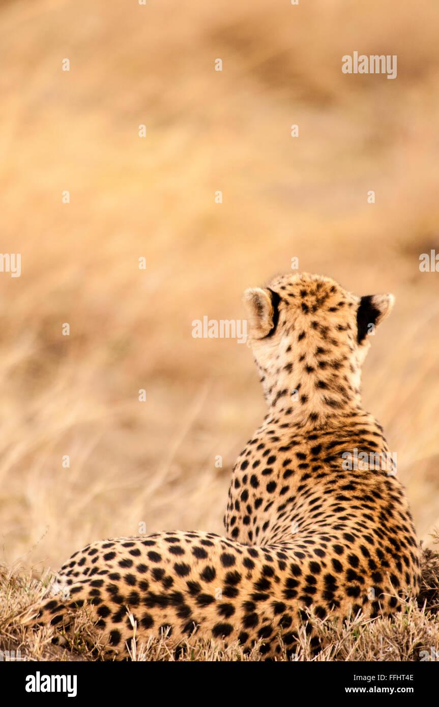 Vue arrière d'un adulte le guépard, Acinonyx jubatus, couchée, à la proie, Masai Mara National Reserve, Kenya, Africa Banque D'Images
