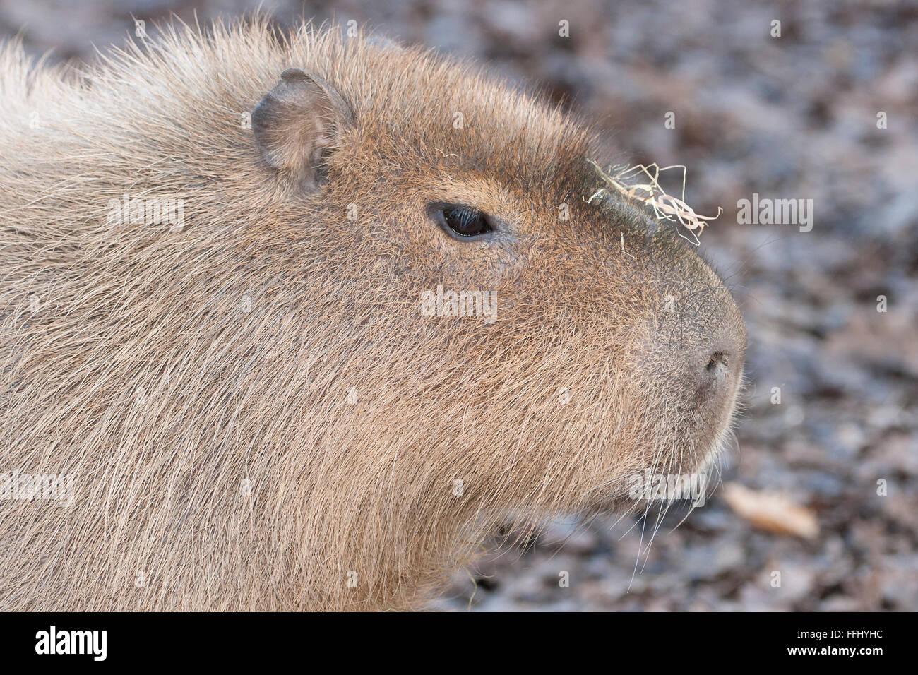 Capybara - portriat de ce mammifère semi-aquatique intelligent Banque D'Images