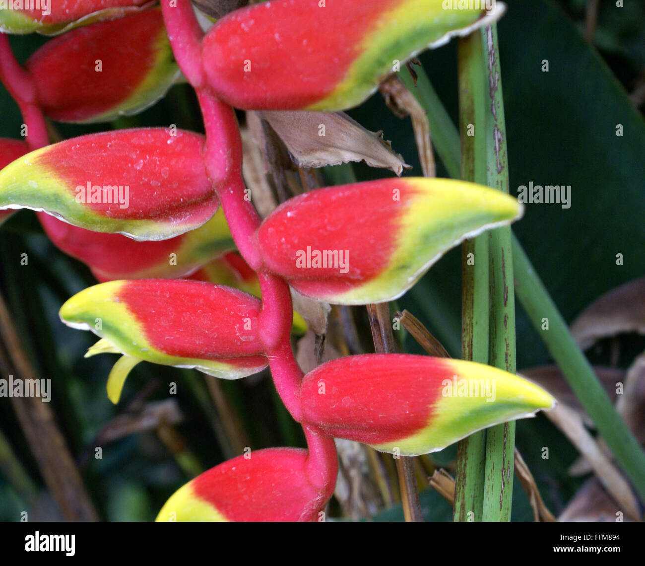 heliconia rostrata, hanging lobster claw, plante herbacée vivace