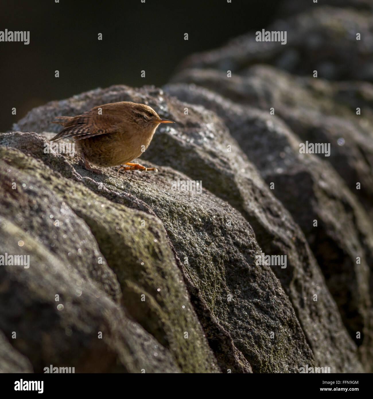 Acte de foi - le Troglodyte mignon (Troglodytes troglodytes) à pas avec ses yeux fermés, dans le Yorkshire. Banque D'Images