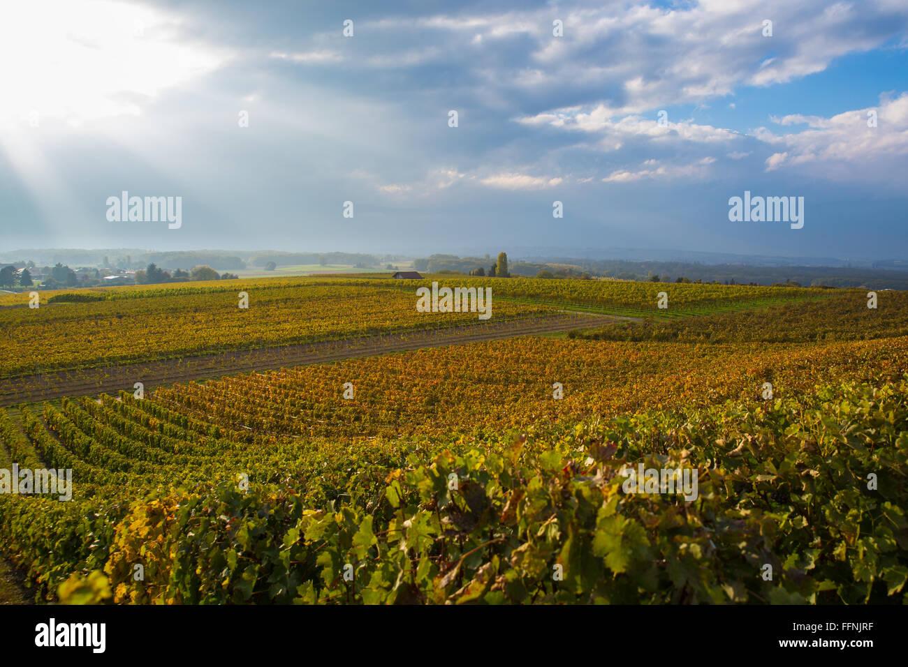 Vignes colorées près de Genève, Suisse, ciel dramatique dans l'arrière-plan avec les rayons Photo Stock