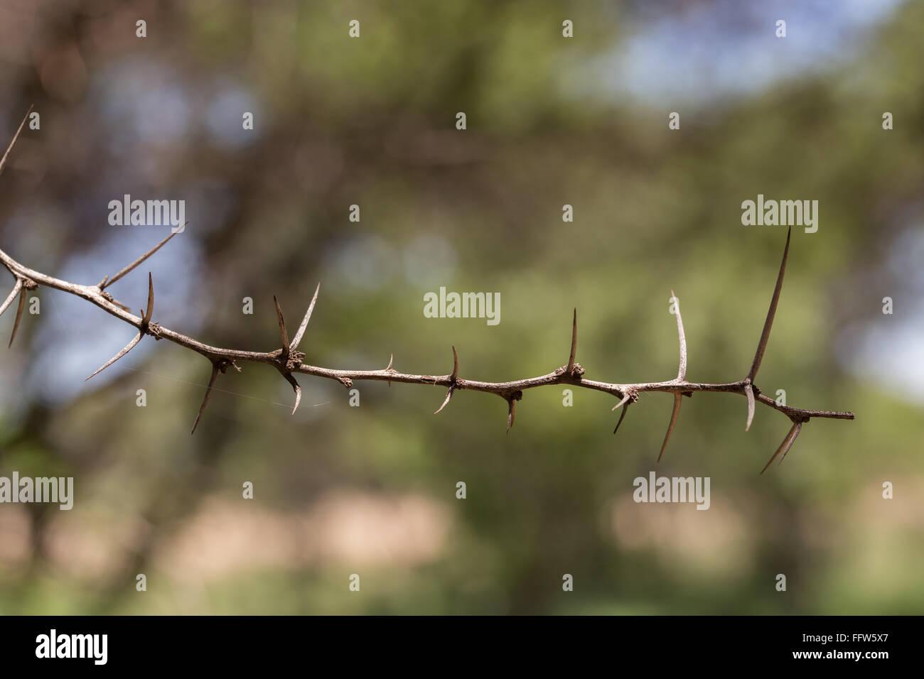 Une brindille épineuse de l'acacia d'Afrique Photo Stock