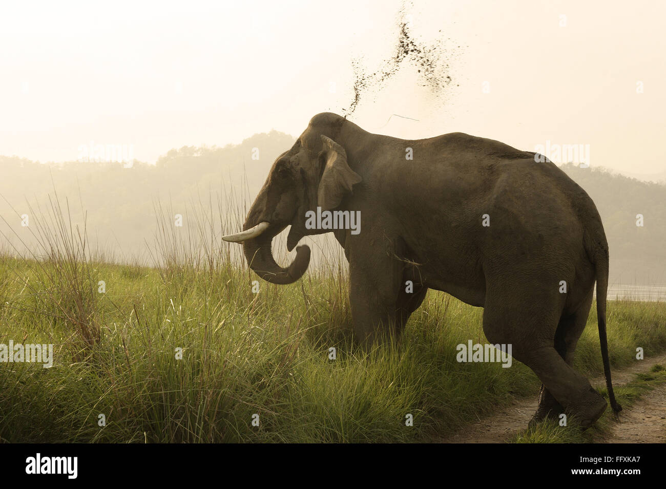Asiatic Elephant tusker Elephas maximus jeter la boue , Parc national Corbett , l'Uttaranchal , Inde Photo Stock