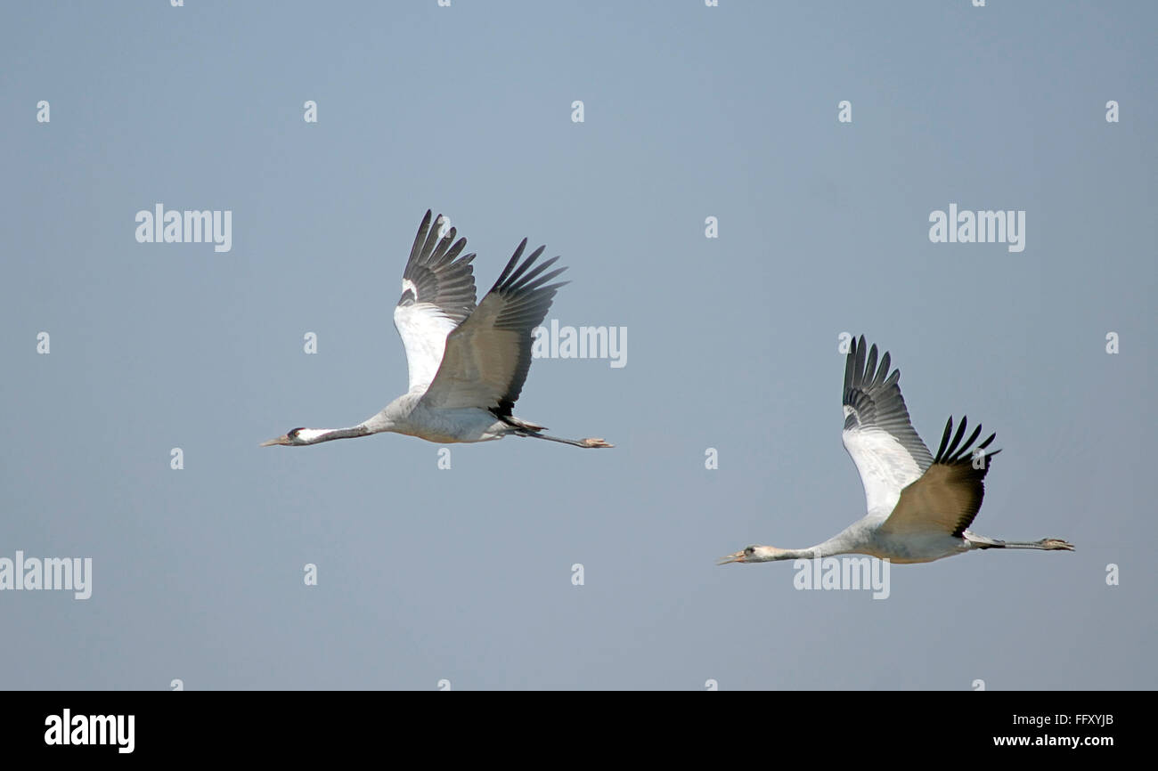 Grue Demoiselle , oiseaux Anthropoides virgo en vol Banque D'Images